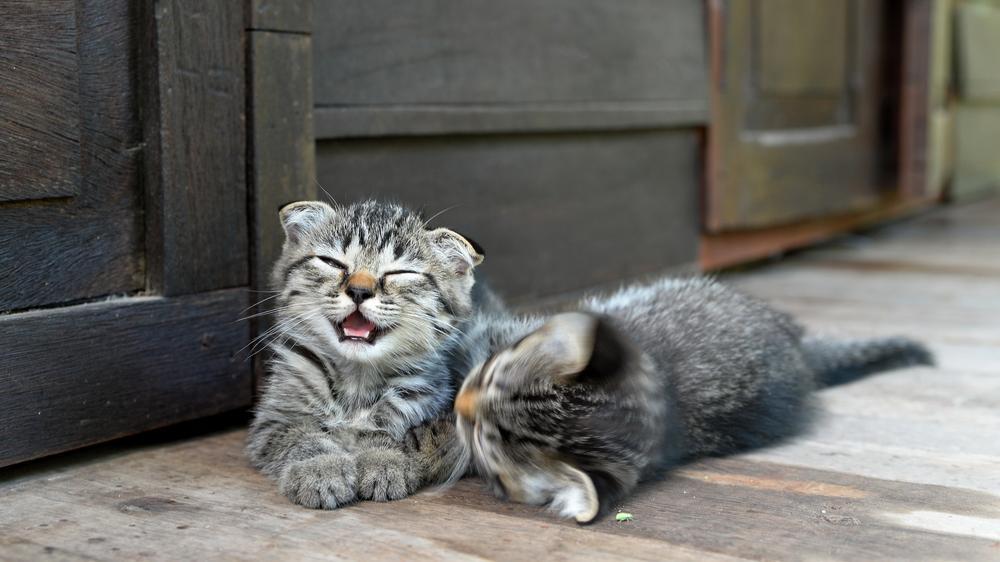 Zdjęcie przestawia dwa małe szare kotki, które bawią się razem.